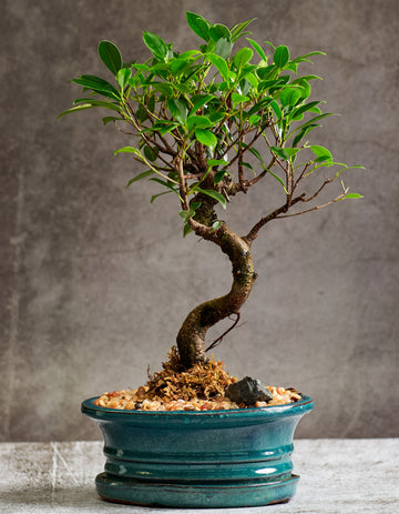 Tigerbark bonsai in a ceramic pot