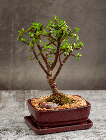Jade Bonsai Tree in a Ceramic pot