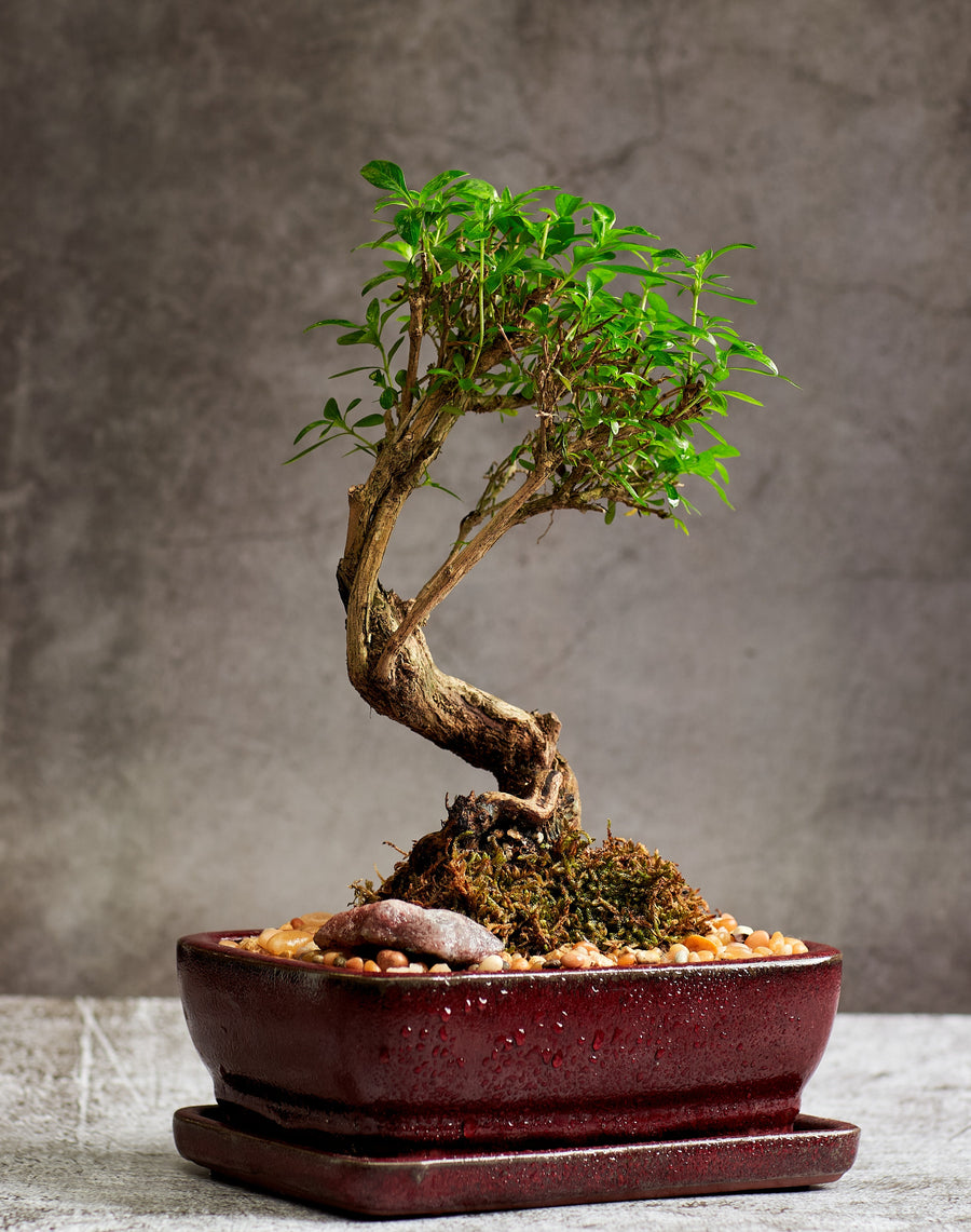 Serissa Foetida Bonsai Tree in a Ceramic Pot