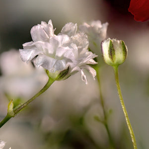 Showy Baby's-breath