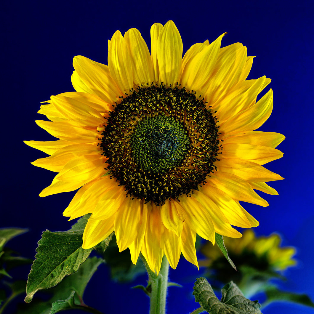 Sunflower - USED