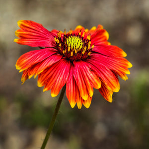 Indian Blanket - USED