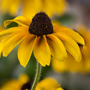 Black-eyed Susan - USED
