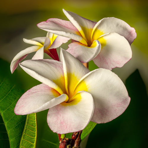 Yellow White Tropical Flower