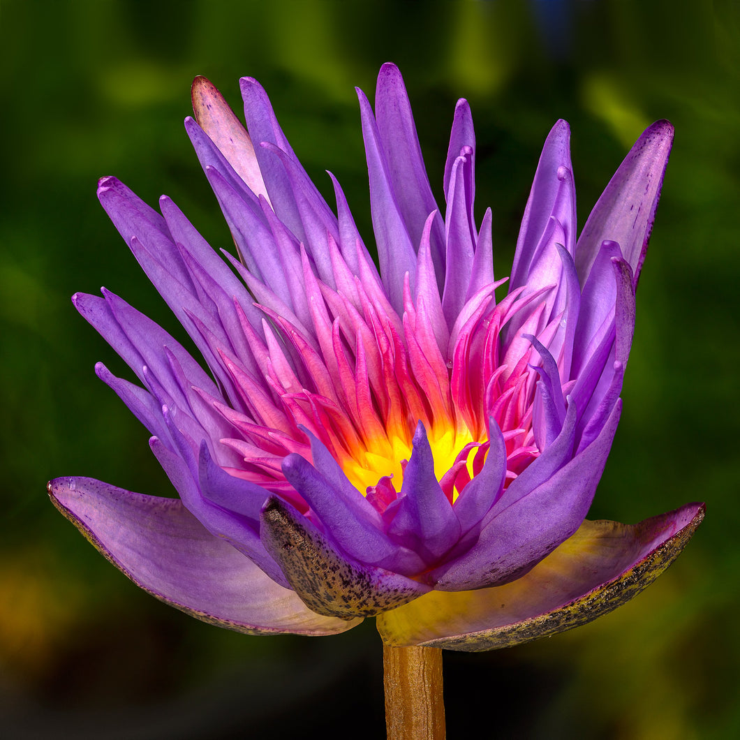 Waterlily - USED