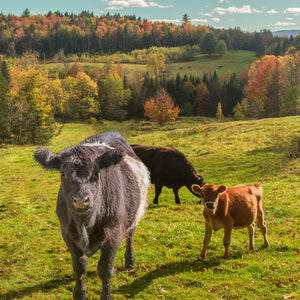 Cattle Scenic View