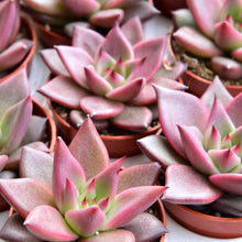 Load image into Gallery viewer, Echeveria agavoides 'Romeo'