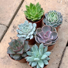 Load image into Gallery viewer, Echeveria LOVERS Pack