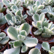 Load image into Gallery viewer, Cotyledon tomentosa 'Bear Paw' Variegated