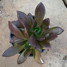 Load image into Gallery viewer, Echeveria affinis 'Black Knight'