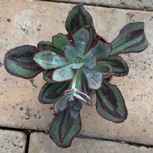 Load image into Gallery viewer, Echeveria nodulosa 'Painted Echeveria'