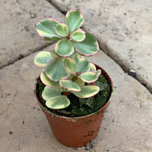 Load image into Gallery viewer, Portulacaria afra 'Elephant Bush' Variegated
