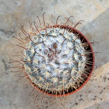 Load image into Gallery viewer, Mammillaria bombycina
