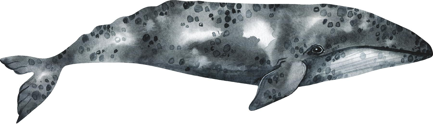 Gray Whale #1 Wall Decal Removable Ocean Deep Sea Animal Fabric Vinyl Wall Sticker | DecalBaby