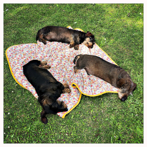 miniature wire haired dachshunds sleeping in the outdoors on a liberty print dog travel blanket