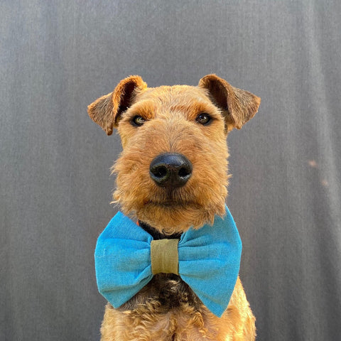 welsh terrier in luxury bow tie dogs first birthday