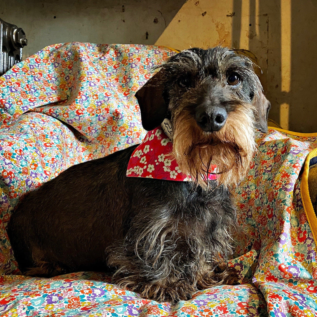 wire haired mini daxi in Liberty print floral dog bandana sitting on a chair