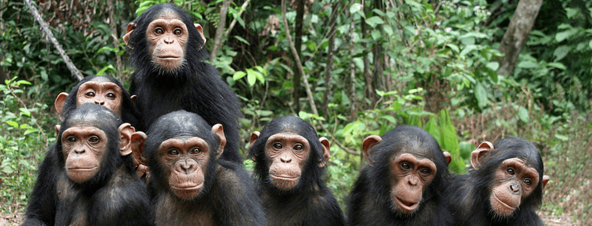 Planting Trees For Chimpanzees