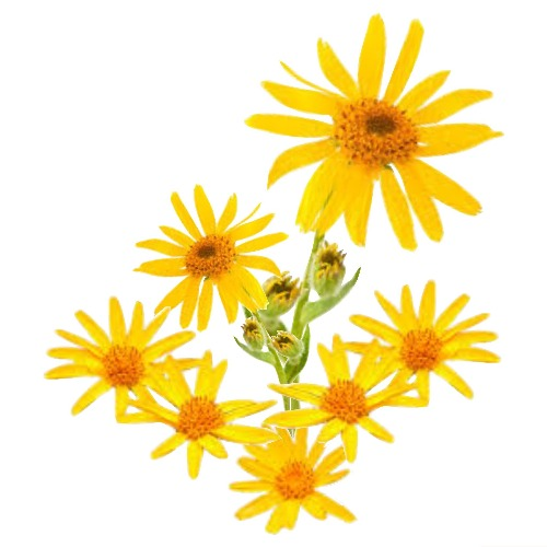 ARNICA MONTANA MACERATED NATURAL OILS (Arnica montana in Helianthus annuus) 100 ml - eOil.co.za