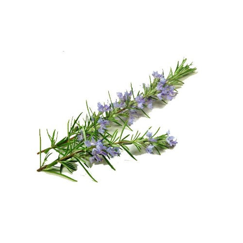 ROSEMARY VERBENONE ORGANIC ESSENTIAL OIL (Rosmarinus officinalus) 10 ml - eOil.co.za