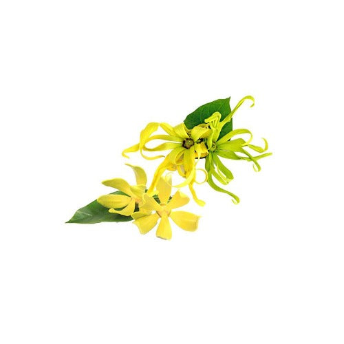 YLANG YLANG COMPLETE ORGANIC ESSENTIAL OIL (Cananga odorata X genuina) 10 ml - eOil.co.za