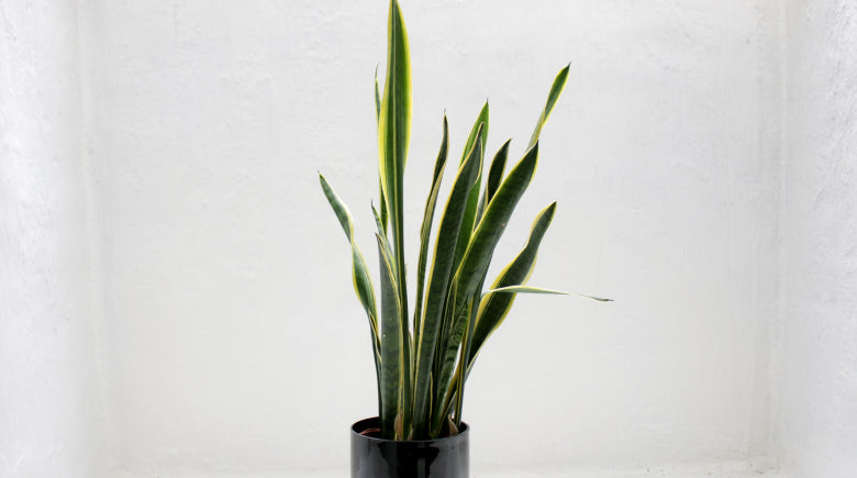 Snake Plant with white background