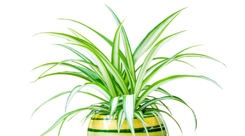 Potted Spider plant on white background