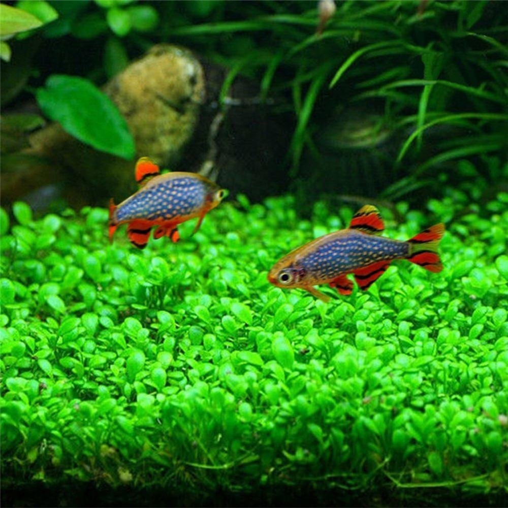 10g  bag Aquarium Grass Seeds for Fish Tank - giftsforrpets
