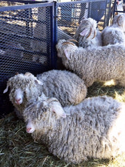 Sheep at Rhinebeck