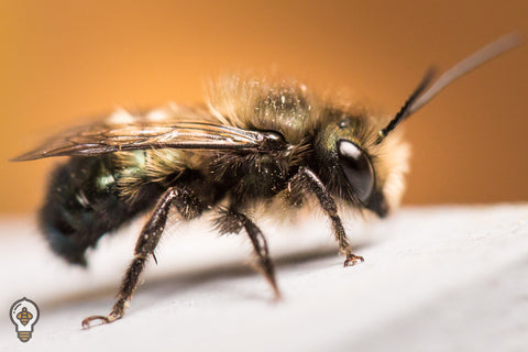 Attract Local Bees To Your Nesting Site Withnest Scent Pheromones These Are Most Often Available In The Form Of Cotton Sheets Infused With Cocoon Dust