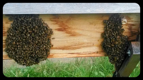 Bees bearding on a top bar hive