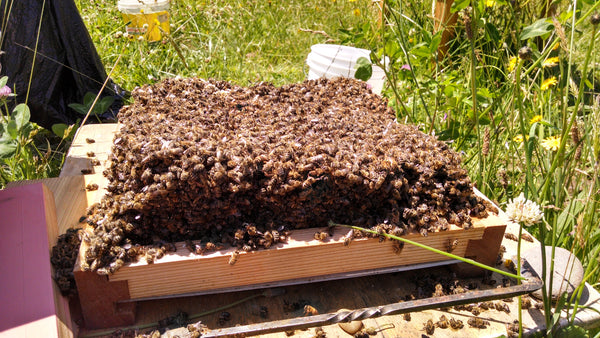 Bees dead from colony that did not survive