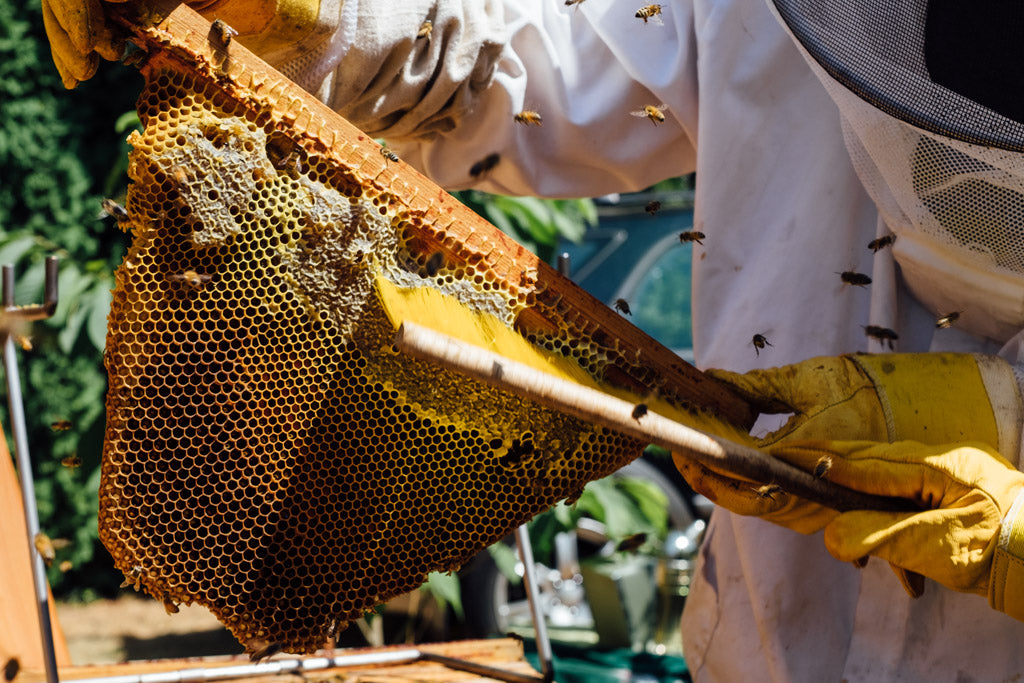 brushing bees off a top bar hive wax comb