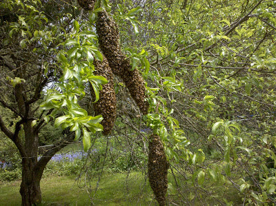 Large swarm on multiple branches