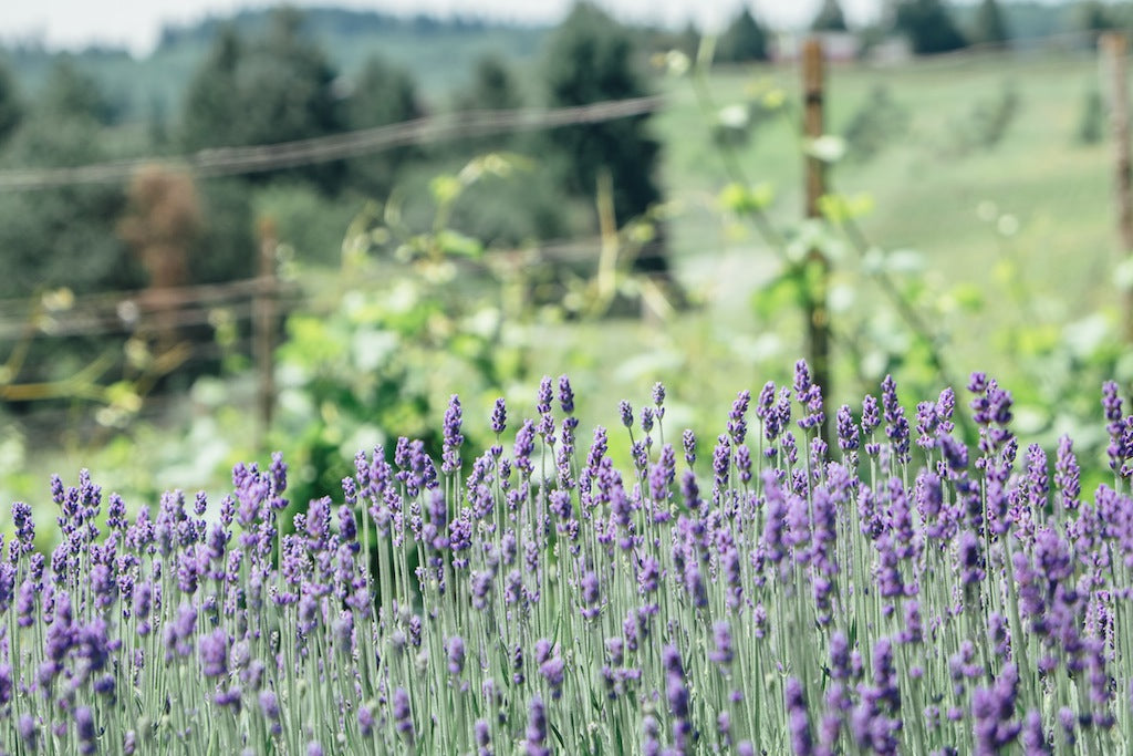 Lavender at Winderlea vineyard