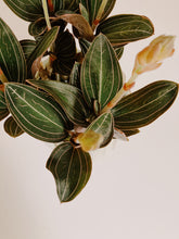Load image into Gallery viewer, Ludisia Discolor - Jewel Orchid