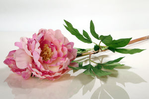 Beautiful large single mixed pink peony with bud