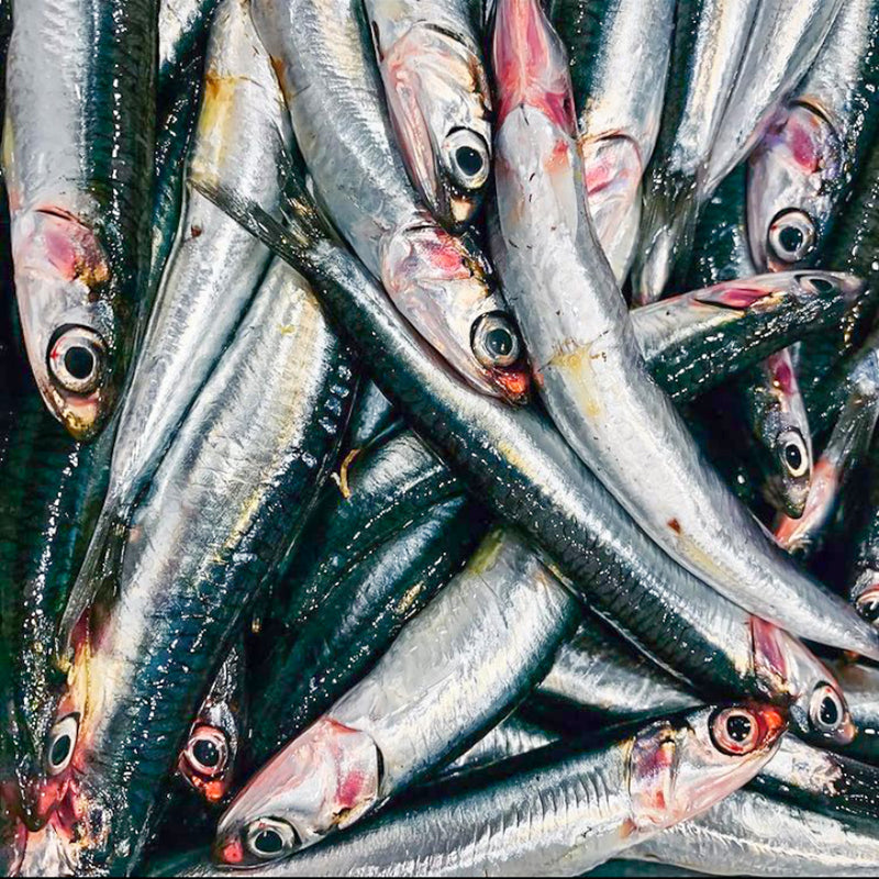 Anchovies - Northern California