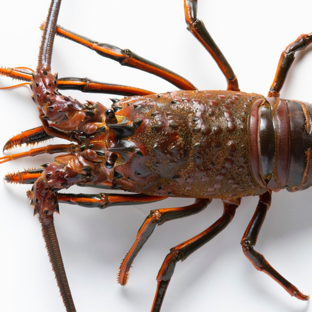 Live California Spiny Lobster