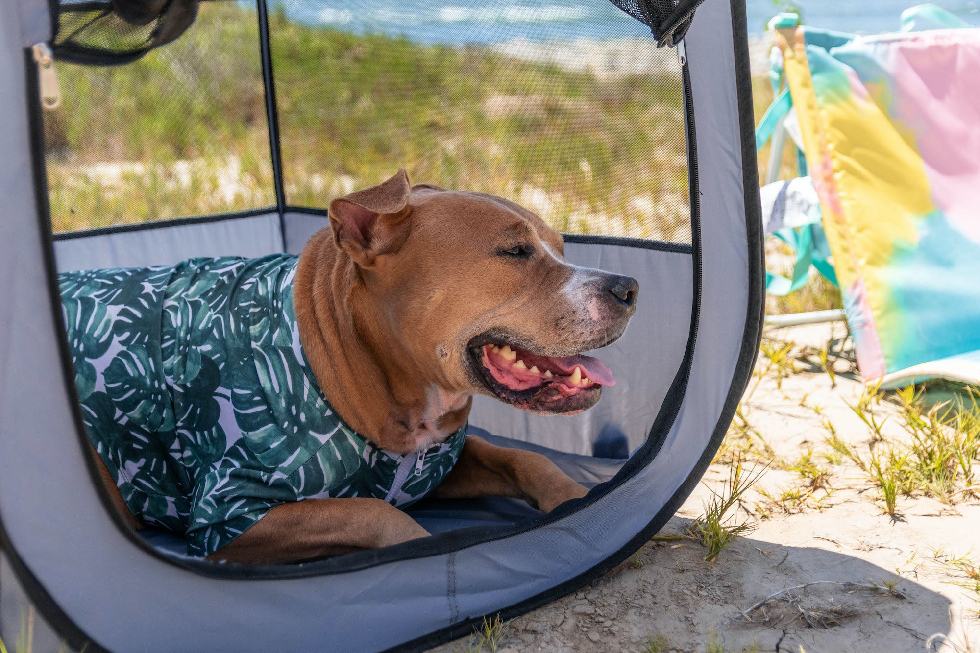 Dog in K9 Sport Sack Tent Smiling on the beach.