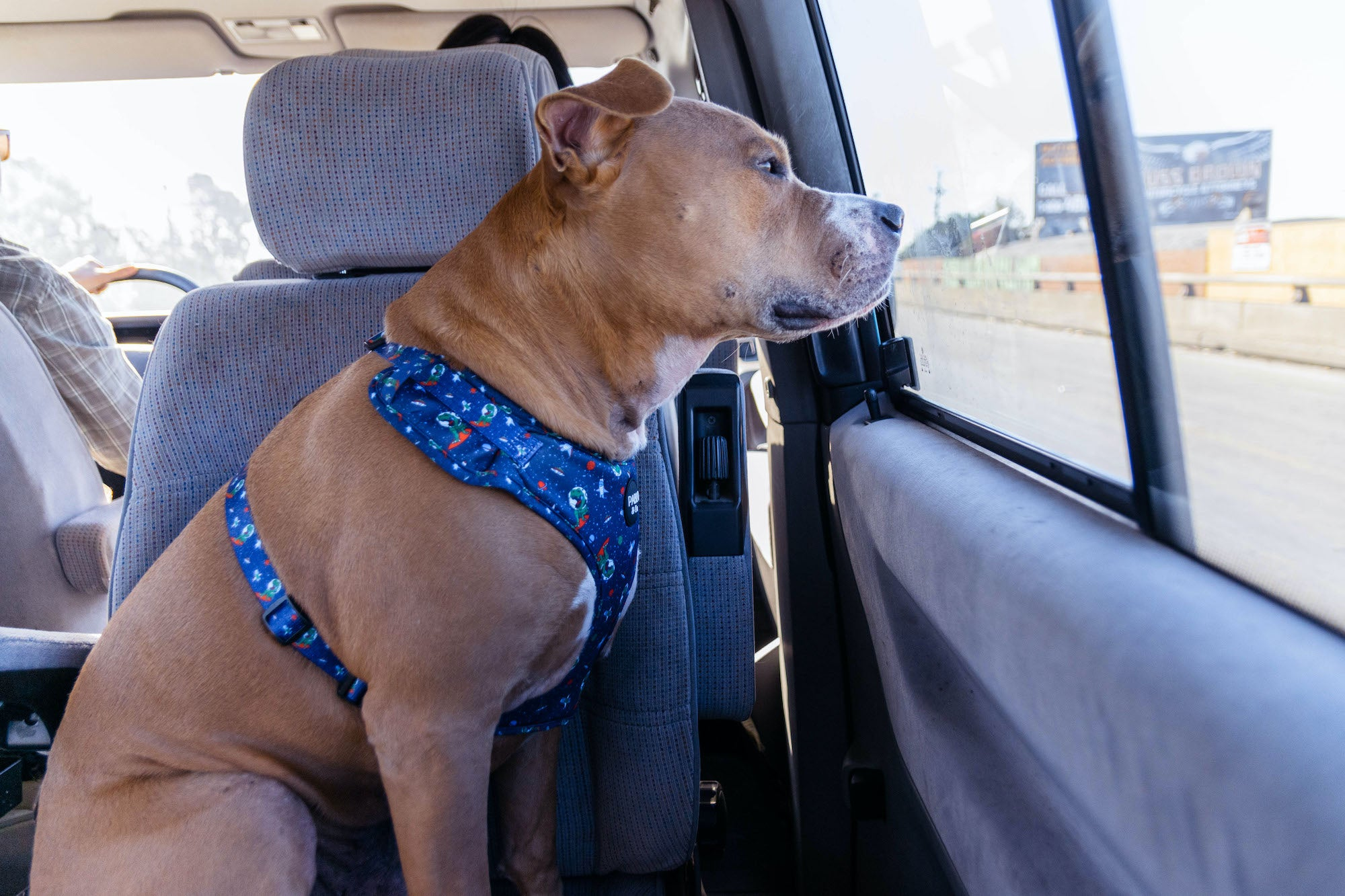 Cute dog wearing Pablo & Co. Space Dinos harness and seatbelt.