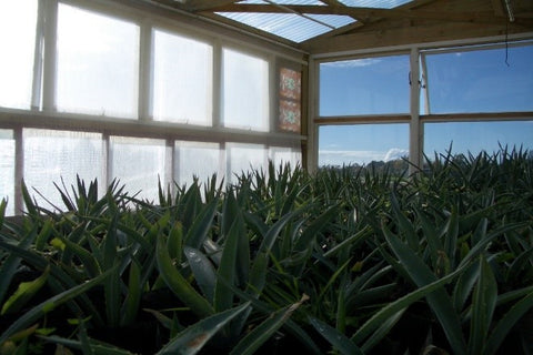 our thriving agave seed-stock now growing in our glasshouse