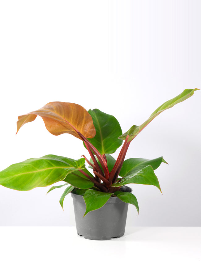 Philodendron McColley's Finale - House Plant - Plant Proper