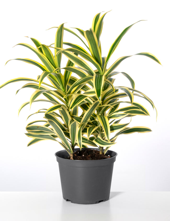 Song of India - Dracaena Reflexa - Plant Proper