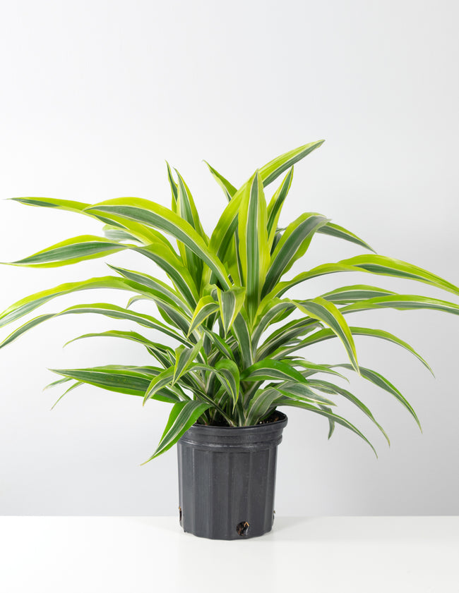Dracaena Lemon Lime - House Plant - Indoor Plant - Plant Proper