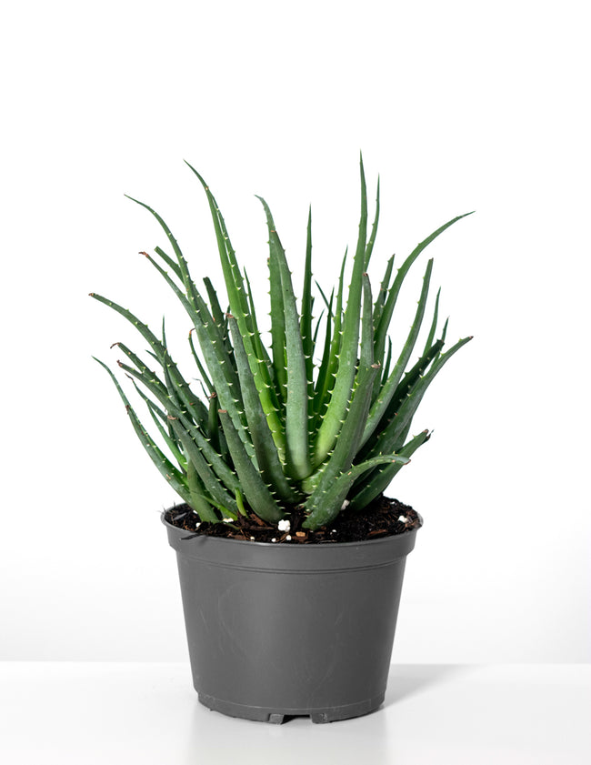 Aloe Hedgehog - House Plant - Plant Proper