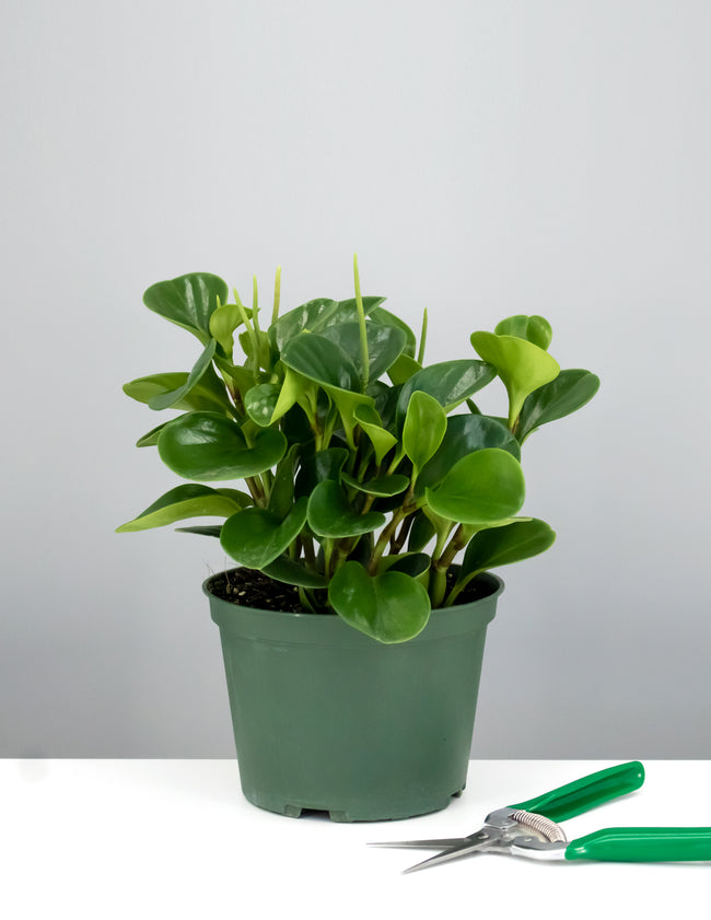 Peperomia Emerald Green - House Plant - Plant Proper