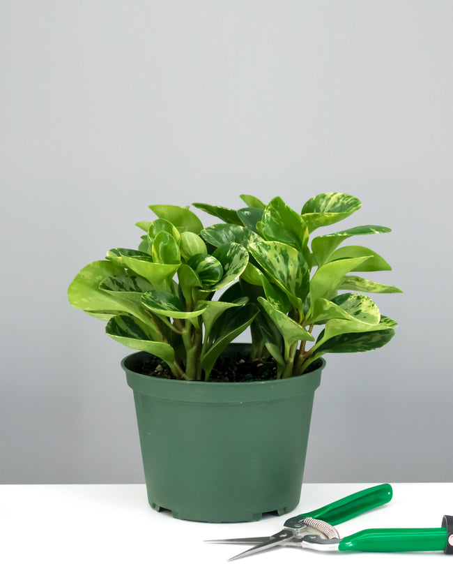 Peperomia Marble - Plant Proper