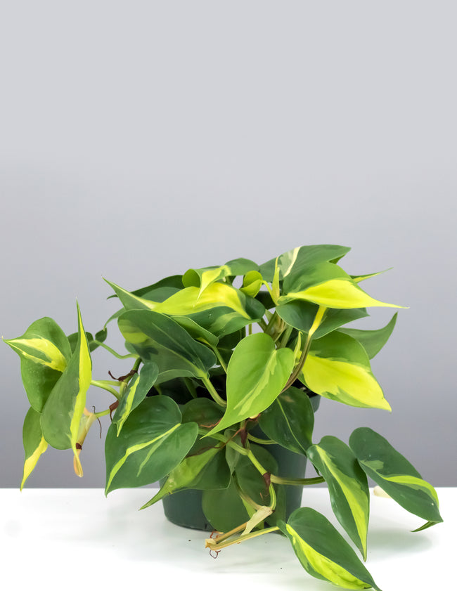 Philodendron Brasil - House Plant - Indoor Plant - Plant Proper