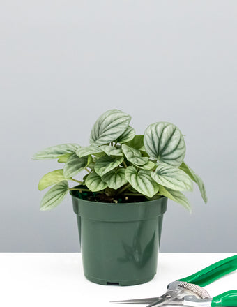 Peperomia Frost - House Plant - Indoor Plant - Plant Proper
